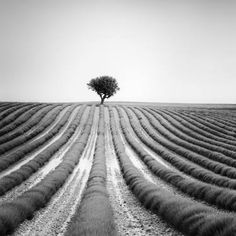 Gerald Berghammer, Ina Forstinger - Lonely Tree in Lavender, France - Black and White Fine Art Landscapes Photography Landscape Photography, Fine Art Photography, Panorama Camera, Minimalist Landscape, Fine Art Paper, Black And White Photography, Lonely, Fine Art Prints, Artist