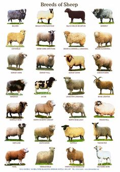 Breeds of Cattle Sheep by PaulChapmanFineArt animals Laminated Posters. Breeds of Cattle, Sheep or Pigs Pig Breeds, Sheep Breeds, Especie Animal, Animal Facts, Cattle Farming, Goat Farming, Sheep Farm, Sheep And Lamb, Baby Sheep