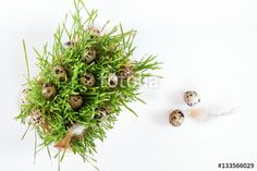 """Download the royalty-free photo """"Easter holiday attributes sets. Quail eggs, green shoots sprouted wheat, feathers on white background. Easter holiday eco concept."""" created by Victoria Kondysenko at the lowest price on Fotolia.com. Browse our cheap image bank online to find the perfect stock photo for your marketing projects!"""