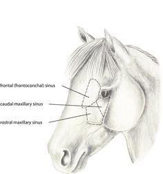 Diseases of the Paranasal Sinuses  in Horses