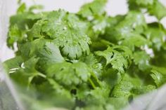 Fresh coriander (cilantro) leaves - Andrew Bret Wallis/Photodisc/Getty Images