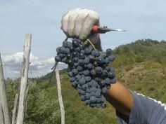 This grape is wonderful. Isn't it? Tacchino Raffaele Wines