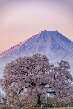 Fuji-san and cherry blossoms by Yukihito Ono, as showcased on Tokyo Camera Club I love this beautifuly photo Cherry Blossom Japan, Cherry Blossoms, Mount Fuji Japan, Fuji Mountain, Monte Fuji, Beautiful Places, Beautiful Pictures, Japan Photo, Great View