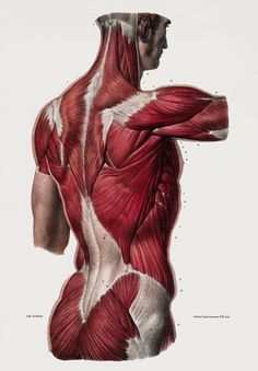Ml25 Vintage 1800S Medical Human Back Body Muscles Anatomy Poster A2/A3/A4