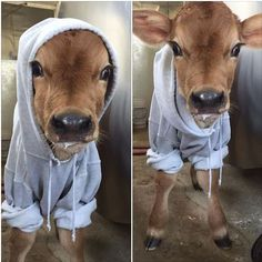 Local dairy barn posted a picture of their newest baby. Had to keep her warm! - Imgur