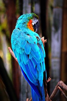Blue & Gold Zoo McCaw   © Copyright 2015, Christine Regusa             HellCat Photography, All Rights Reserved