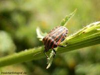 Streifenwanze (Graphosoma lineatum)  #Wanze #Macro #Streifenwanze #Insekten #Insekt # Schnabelkerfe # Baumwanze