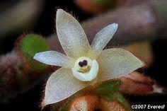orchidea Trichotosia velutina from Sumatra, Java, Malaysia, Borneo e Papua & Nuova Guinea, Burma e Thailandia