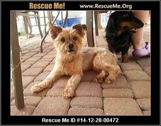 Animal ID: Baby/MorkieBaby (female)  Yorkie Mix  Age: Adult  Compatibility:Good w/ Most Dogs, Not Good w/ Cats, Good w/ Kids and Adults Personality:Low Energy, Submissive Health:Spayed, Vaccinations Current, Seizures  [Read About Natural Seizure Care] I do have an adoption fee to cover my vetting and to help save the next pup. I am fully vetted/Neutered/Microchipped/Heartworm Neg on preventative and also under flea/tick treatment as well I am looking for my perfect home within…