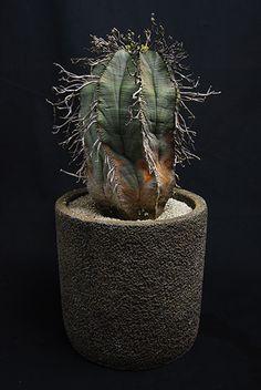 バリダ Euphorbia meloformis v. valida