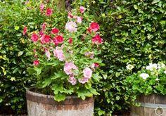 Stokrose - Alcea Spring Celebreties | Gunnar Christensens Planteskole