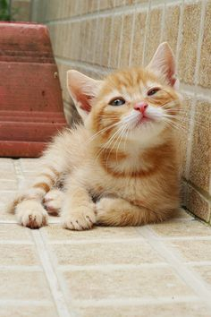 Ginger kitten adorableness. #cats #cute #kittens #animals