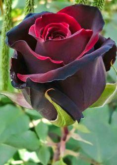 """""""Las grandes rosas rojas, cuyo brillo sangriento y áspero ardía bajo la ceniza húmeda de aquella mañana, me tentaban. Tenía grandes deseos de arrancar una. Pregunté el precio, sólo para poder acercarme a ellas lo más posible"""" Que bella rosa:"""