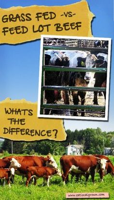 Grass-Fed vs. Feedlot Beef - Whats the difference? Plus: 10 Benefits You Gain from Grass-Fed Beef