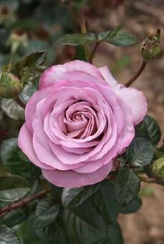 Captivating Why Rose Gardening Is So Addictive Ideas. Stupefying Why Rose Gardening Is So Addictive Ideas. All Flowers, Amazing Flowers, Beautiful Roses, My Flower, Beautiful Gardens, Flower Power, Beautiful Flowers, Austin Rosen, Garden Art