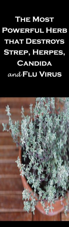 Thyme Destroys Strep, Herpes, Candida and Flu Virus
