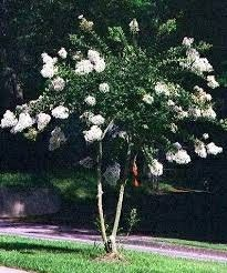 Lagerstroemia indica Crepe Myrtle acoma white dwarf to White Flowers, Myrtle Tree, Shrubs, Front Yard Planters, Lagerstroemia, Townhouse Garden, Plants, Small Gardens, White Gardens