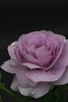 troubadourさんの雨の朝に 3 - 写真共有サービス 「写真部」 byGMO