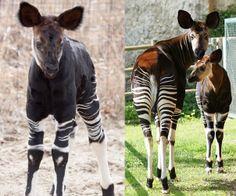 two okapi better than one? Okapi, Tropical Forest, Outside World, Vertebrates, Longarm Quilting, Conservation, Giraffe, Rhinoplasty, Quilts