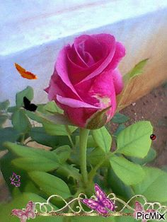 Pink rose and butterflies