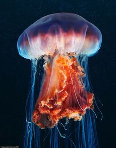 """Jellyfish ➖➖➖➖➖➖➖➖➖ ➖➖➖➖➖➖➖➖➖ Color ➖➖➖➖➖➖➖➖➖ Ocean ➖➖➖➖➖➖➖➖➖ """"Cyanea capillata (by Alexander Semenov)"""" Colorful Jellyfish, Jellyfish Tank, Jellyfish Aquarium, Jellyfish Facts, Jellyfish Quotes, Jellyfish Light, Jellyfish Pictures, Lion's Mane Jellyfish, Colorful Fish"""