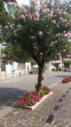 Oleanderbäume säumen die Strassen von Maderno Innsbruck, Sidewalk, Sidewalks, Pavement, Walkways