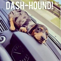 Shop for dachshund products, dachshund dog ramp and other amazing products. Treat your wiener dog, sausage dog or loving dachshund today! Dachshund Funny, Dapple Dachshund, Dachshund Puppies, Weenie Dogs, Dachshund Love, Funny Dogs, Cute Puppies, Cute Dogs, Dogs And Puppies
