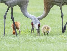 Sandhill Crane Family With Adopted Gosling Jocelyn >> A Sandhill Crane Couple With Their Baby Colt And Adopted Gosling