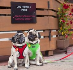 Minnie & Max, the YouTube Pugs, say 2 Paws-Up!   Yelp