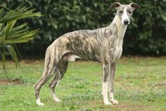 Brindle dog breeds all have an amazing coat pattern in common. Love his dark shaded fur? Let's find a brindle breed that's right for you! Dog Breeds That Dont Shed, Best Dog Breeds, Small Dog Breeds, Medium Sized Dogs, Medium Dogs, Best Dogs For Kids, Whippet Puppies, Whippets, Bedlington Whippet