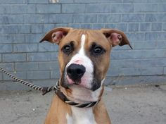 TO BE DESTROYED - 05/12/14Brooklyn Center -PMy name is GAMBET. My Animal ID # is A0997835.I am a male brown and white am pit bull ter and boxer mix. The shelter thinks I am about 1 YEAR 1 MONTH old.I came in the shelter as a STRAY on 04/26/2014 from NY 11356, owner surrender reason stated was STRAY. MOST RECENT MEDICAL INFORMATION AND WEIGHT05/11/2014 Exam Type VACCINATE - Medical Rating is 1 - NORMAL , Behavior Rating is EXPNOCHILD, Weight 44.6 LBS.No Final Exam04/26/2014 PET PROFILE…
