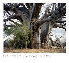Eine neue Dimension von Alt sein – The Oldest Living Things in the World • Blumen & Pflanzen Blog • 99Roots.com