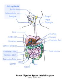 an overview of the human digestive system and how it works Locate parts of the digestive system  the simulation is authentic as it portrays an accurate visual representation of the human digestive system  overview :.
