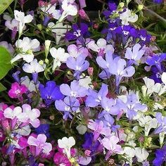 Lobelia Riviera Mix Flower Seeds (Lobelia Erinus Riviera Series) 200+Seeds