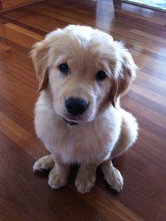 beautiful golden puppy Ellie