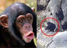 #[VIDEO] ¡A un paso de la evolución! Este grupo de chimpancés hizo algo jamás visto antes - HSB Noticias: El Siglo Durango [VIDEO] ¡A un…