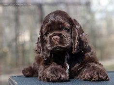 Love, love, love black cocker spaniels!