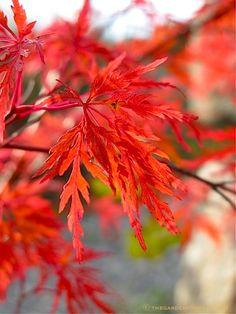 Acer palmatum x dissectum 'Seiryu' leaf ⓒ Michaela at TGE