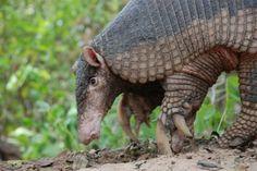 Tatu-canastra (Priodontes maximus) - Foto: projeto Tatu-Canastra