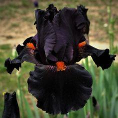 Dracula's Kiss Iris
