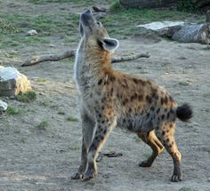 hyena howling like wolf? my day is made