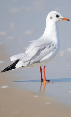 A seagull enjoying the beach. You are in the right place abo Bird Pictures, Animal Pictures, Beautiful Birds, Animals Beautiful, Ocean Drawing, What Is A Bird, Cottage Art, Animal Projects, Am Meer