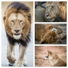 """""""When a Lion runs and looks back, its not that he is afraid, rather he is trying to see the distance he has covered"""". (African Proverb)  World Lion Day!  #worldlionday #lions #wildlifephotography #wildlife #krugerthroughmyeyes #southafrica #kruger #predator #canon #safari #lioness #cubs #conservation #nature   Kruger National Park"""