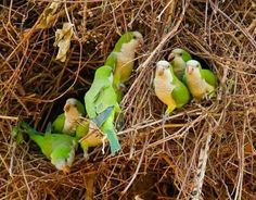 Quaker parrot colony nest. Also called monk parakeets.