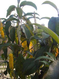 Florece el Duraznillo (Abatia parviflora)
