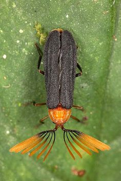 Coleoptera; macro by alexander.ovchinnikov, via Flickr