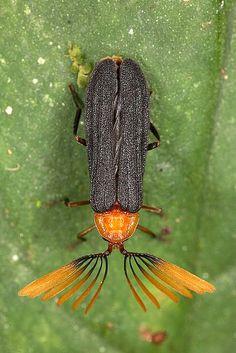 Coleoptera; macro by alexander.ovchinnikov, via Flickr