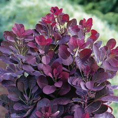 Burgundy Smoke Bush (for foliage/texture)