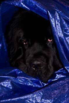 Notta Bear Newfoundlands Inka is the saddest newfie soothsayer - she wants me to stop asking for the winning lottery numbers Halloween dog costume Newfoundland dog Newfie puppy Giant Dogs, Big Dogs, I Love Dogs, Cute Dogs, Dog Photos, Dog Pictures, Cute Dog Halloween Costumes, Lottery Numbers, Newfoundland Dogs