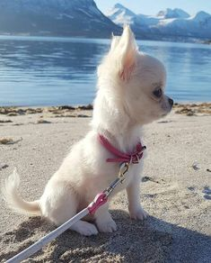 Cutie on the beach chihuahua chiwawa Cute Dogs And Puppies, Baby Dogs, Doggies, Cute Little Animals, Cute Funny Animals, Cute Animal Pictures, Dog Pictures, Chihuahua Love, Teacup Chihuahua Puppies